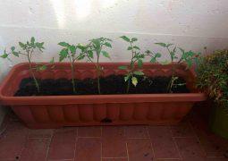 piantine pomodori